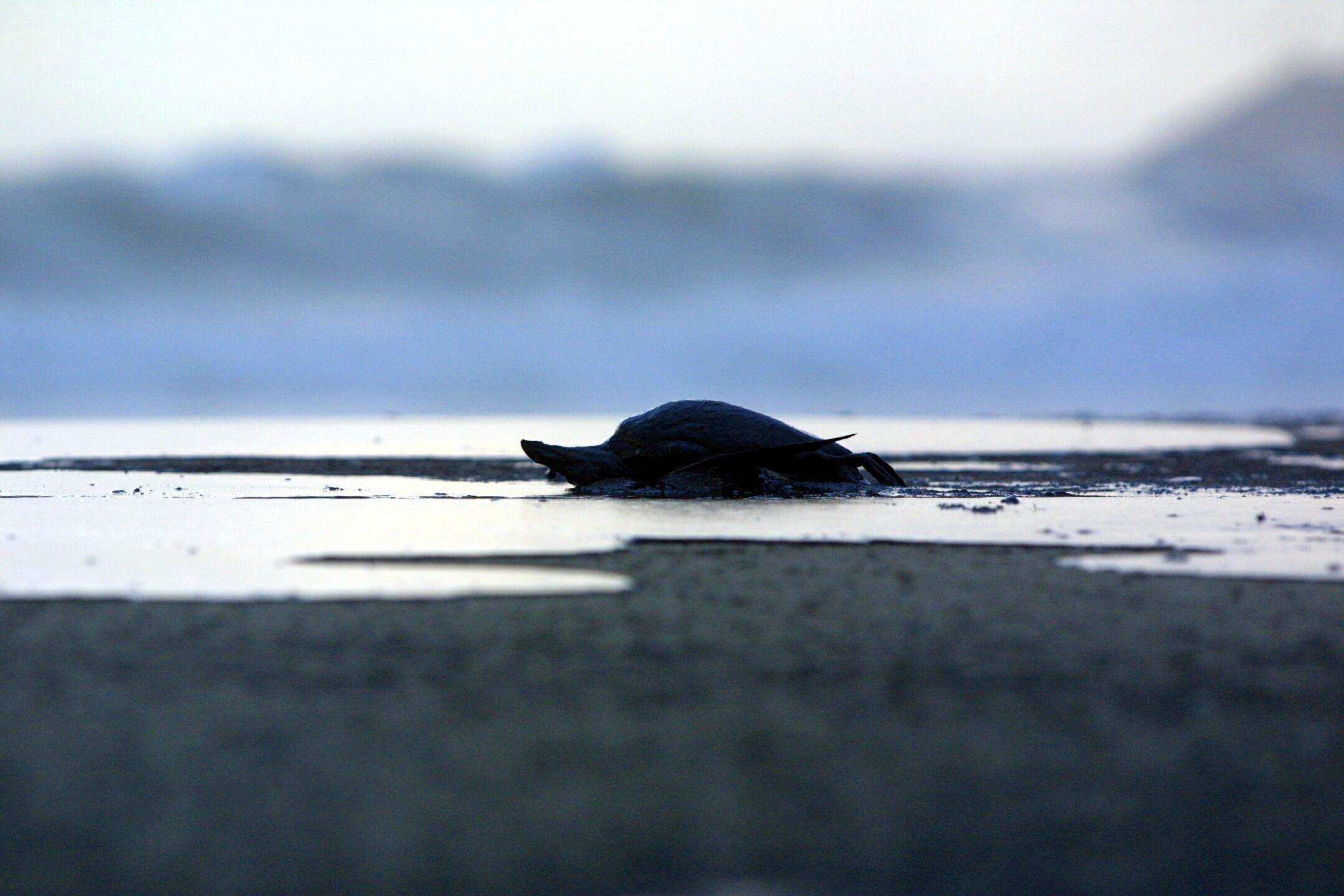 Un cormorán muerto en la playa de Barrañan (Arteixo). <br><b>Xosé Castro</b>