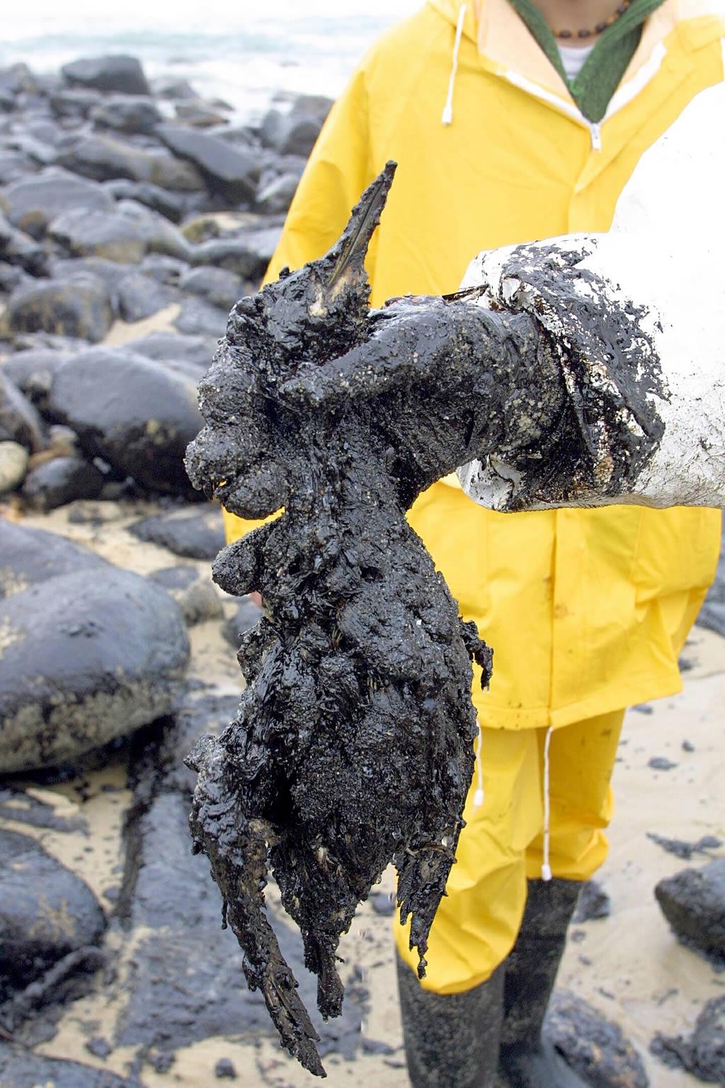 02/01/2003 <br>Un grupo de voluntarios recoge un arao común muerto víctima de la marea negra  <br>Simón Balvís