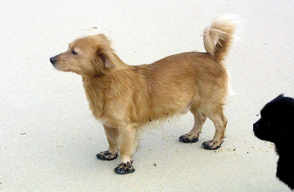 Un perro con sus patas manchadas de chapapote en la playa de Río Sieira, en Porto do Son. <br><b>Carmela Queijeiro</b>